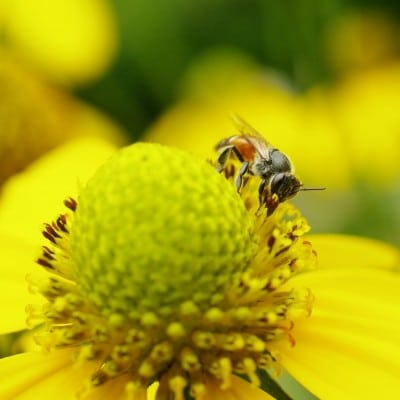 Flowers for Bees: Make a Bee Friendly Garden - bee on flower close-up