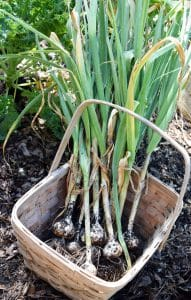 Organic Raised Bed Vegetable Gardening and Harvesting Garlic.