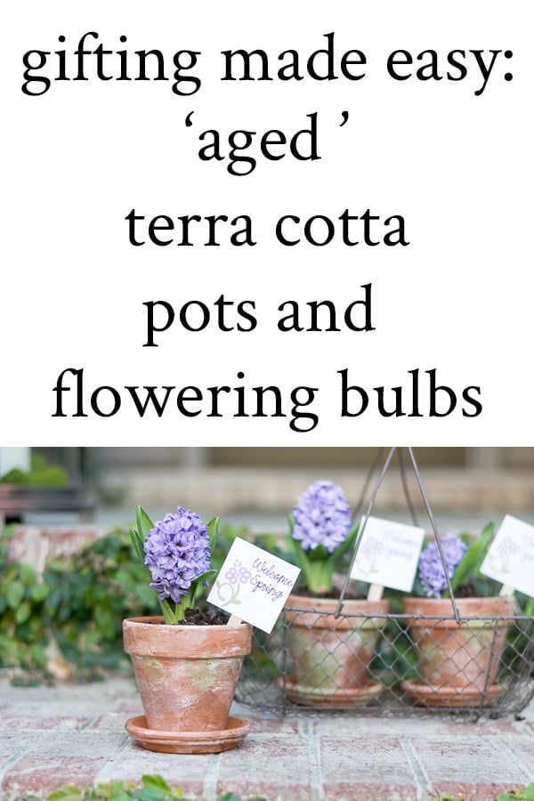 aged terra cotta pots and flowering bulbs